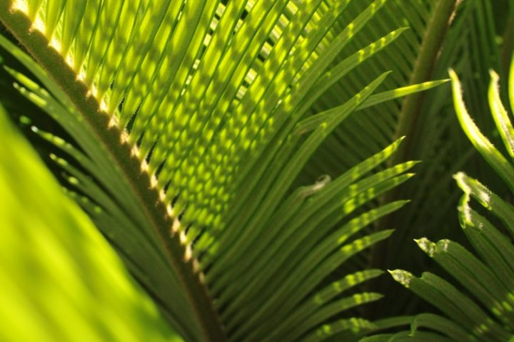 green coconut tree leaves
